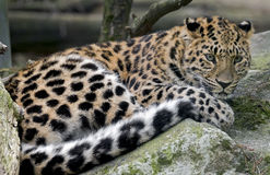 Amur leopard 11 Royalty Free Stock Photos