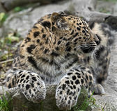 Amur leopard 12 Royalty Free Stock Photography