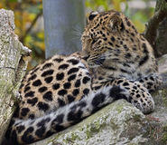 Amur leopard 13 Royalty Free Stock Image