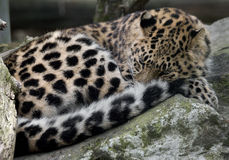 Amur leopard 14 Royalty Free Stock Images