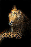 Amur Leopard Royalty Free Stock Image