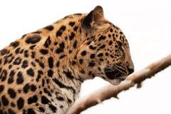 Amur leopard profile Stock Image