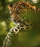 Amur Leopard relaxing high up at Marwell Zoo Stock Images