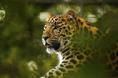 Amur Leopard relaxing majestic big cat Royalty Free Stock Image