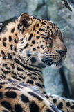 Amur Leopard resting on rock Stock Image