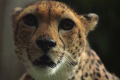 Amur leopard Stock Photos