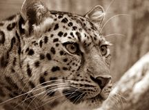 Amur, Leopard, Sepia, Close Royalty Free Stock Image