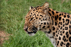 Amur leopard snarling at something Stock Photo