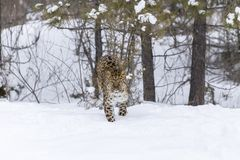 Amur Leopard In The Snow. Amur Leopard in a snowy forest hunting for prey Royalty Free Stock Photos