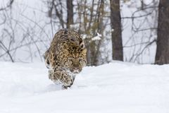 Amur Leopard In The Snow. Amur Leopard in a snowy forest hunting for prey Royalty Free Stock Photo