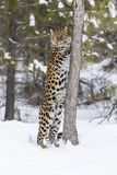 Amur Leopard In The Snow. Amur Leopard in a snowy forest hunting for prey Stock Photos
