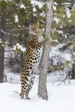 Amur Leopard In The Snow. Amur Leopard in a snowy forest hunting for prey Stock Image