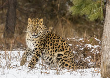 Amur Leopard. In a snowy Forest hunting for prey Royalty Free Stock Photos