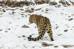 Amur Leopard. In a snowy Forest hunting for prey Stock Photos