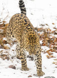 Amur Leopard. In a snowy Forest hunting for prey Royalty Free Stock Image