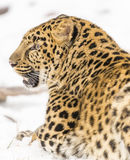 Amur Leopard. In a snowy Forest hunting for prey Stock Images