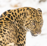 Amur Leopard. In a snowy Forest hunting for prey Stock Photography