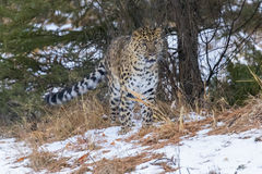 Amur Leopard. In a snowy Forest hunting for prey Royalty Free Stock Photo