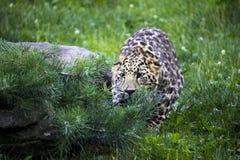 Amur leopard som är klar till puncen Arkivbild