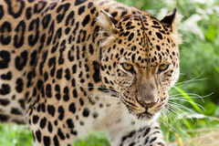 Amur Leopard Stalking Forwards Royalty Free Stock Images