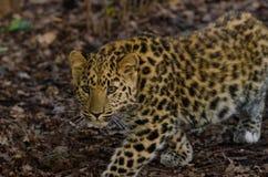Amur Leopard stalks. An Amur Leopard Cub stalks its territory Stock Images