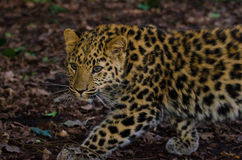 Amur Leopard stalks 2. An Amur Leopard Cub stalks its territory Stock Photos