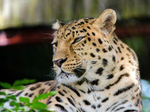 Amur Leopard. An Amur Leopard stares out across its home Stock Photos