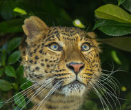Amur Leopard. The Amur leopard is a leopard subspecies native to the Primorye region of southeastern Russia and the Jilin Province of northeast China. It is Royalty Free Stock Photos