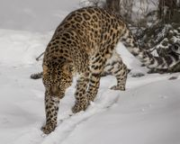 Amur Leopard at Triple D game Farm in Montana. Amur leopard  appears to be stalking his prey. panthera pardus orientalis    Triple D Game Farm Kalispell Montana Stock Image