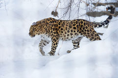 The Amur leopard Royalty Free Stock Image