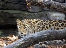 Amur leopard. Wild animal stock images