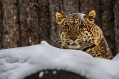 Amur Leopard from winter Russia Royalty Free Stock Photo