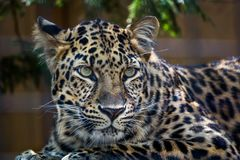 Amur leopard with green eyes looking at something. Amur Leopard yellow and black spots Royalty Free Stock Photos