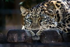 Amur leopard with green eyes lounging  on wood surface Royalty Free Stock Images