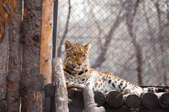Amur leopard in a zoo Royalty Free Stock Image