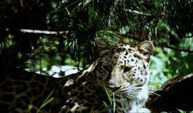 Amur leopardgestaltning Royaltyfri Fotografi