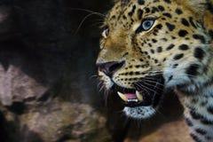 amur leopardkringstrykande Royaltyfri Fotografi