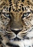 Amur-Leopardnahaufnahme Stockfotografie