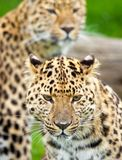 Amur Leopards. Two Leopards cropped tight as a portrait royalty free stock photo