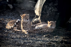 Amur leopards. Couple of Amur leopards have a rest, lying on the earth in a zoo Royalty Free Stock Image
