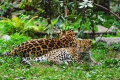 Amur leopards. Mother with her cub Stock Image