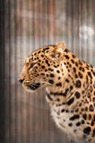 Amur or Manchurian leopard. One of the rarest felids in the world Royalty Free Stock Photography