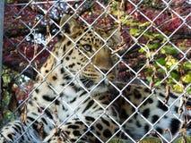 Amur-pardusorientalis of Der Amurleopard, Abenteurland Walter Zoo van luipaardpanthera royalty-vrije stock fotografie