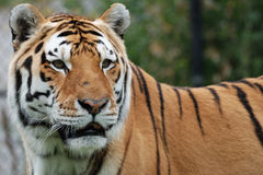 Amur (Siberian) Tiger Royalty Free Stock Photography
