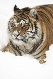 Amur (Siberian) Tiger Royalty Free Stock Photos