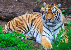 Amur Siberian Tiger Royalty Free Stock Photography