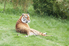 Amur or Siberian Tiger Royalty Free Stock Photo