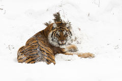 Amur (Siberian) tiger, angry, in deep snow, rear view Royalty Free Stock Image