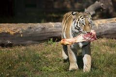 The Amur Siberian tiger eats raw meat.  royalty free stock photos