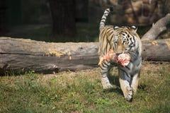 The Amur Siberian tiger eats raw meat.  stock image